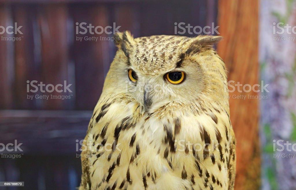 close up western Siberian Eagle Owl. stock photo