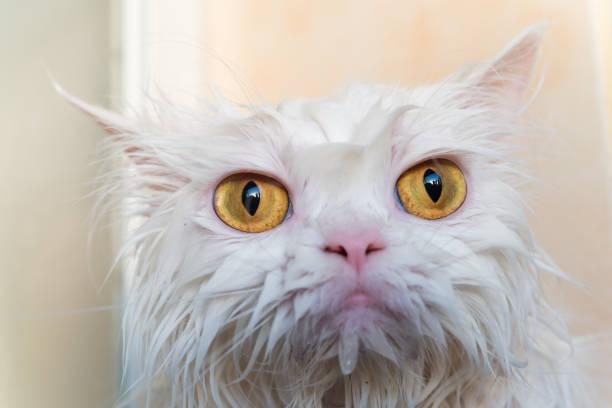 Close up wet persian cat eye picture id1028187244?b=1&k=6&m=1028187244&s=612x612&w=0&h=kxzlxo4xdgumubybgv ymycwogbmk1c01lykohnslti=