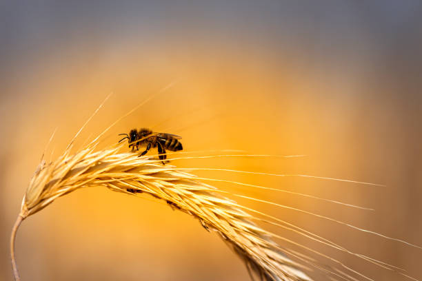close up wheat ear with a bee stock photo