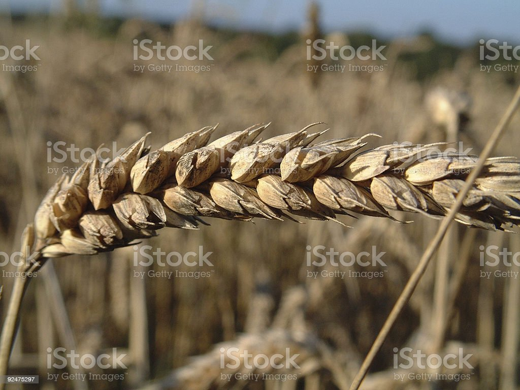 Close Up Wheat, Organically Grown royalty-free stock photo