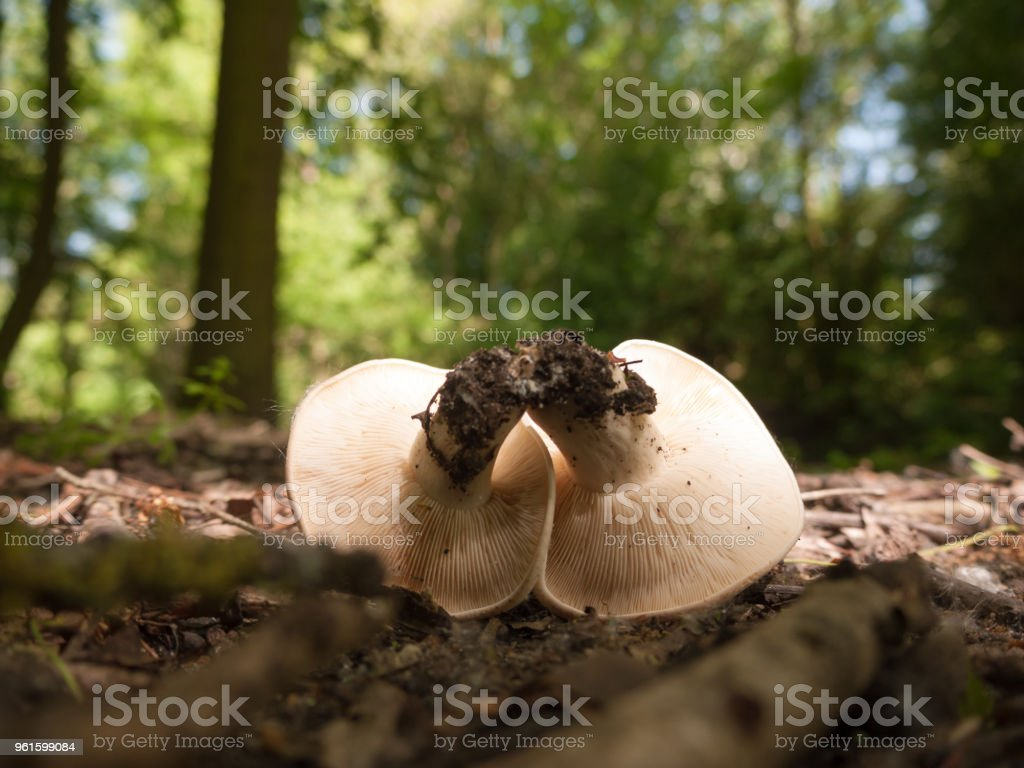 close up white cap st george's mushroom - Calocybe gambosa stock photo