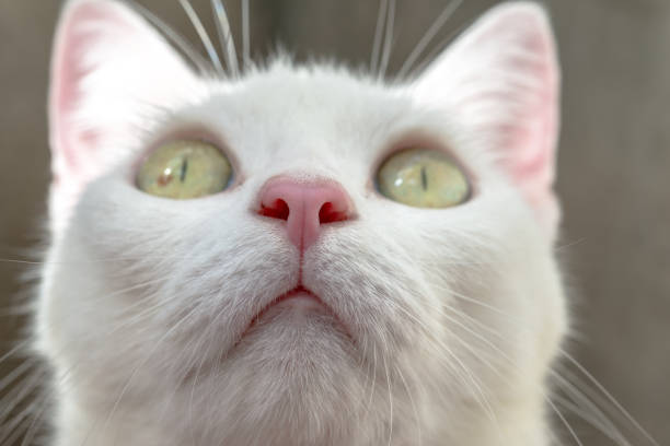 Close up white cat's pink nose stock photo