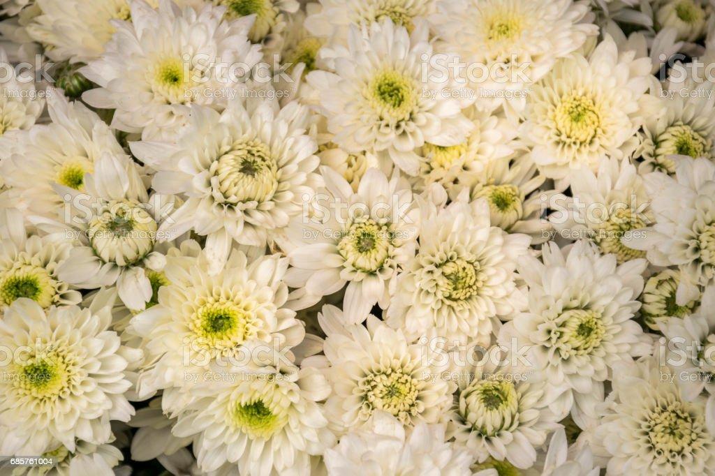 白い菊を閉じる ロイヤリティフリーストックフォト