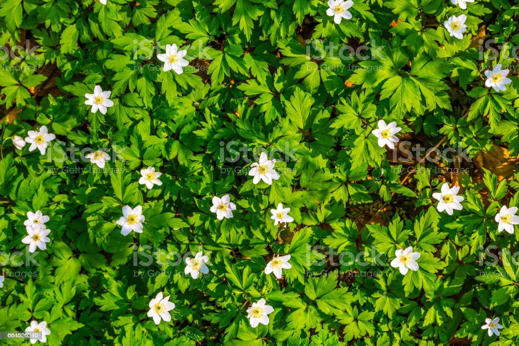 Close up white flowers and green grass texture top view. royalty-free stock photo