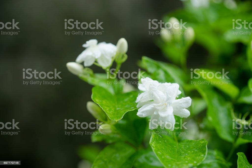Close up white Jasmine Flower in a garden stock photo