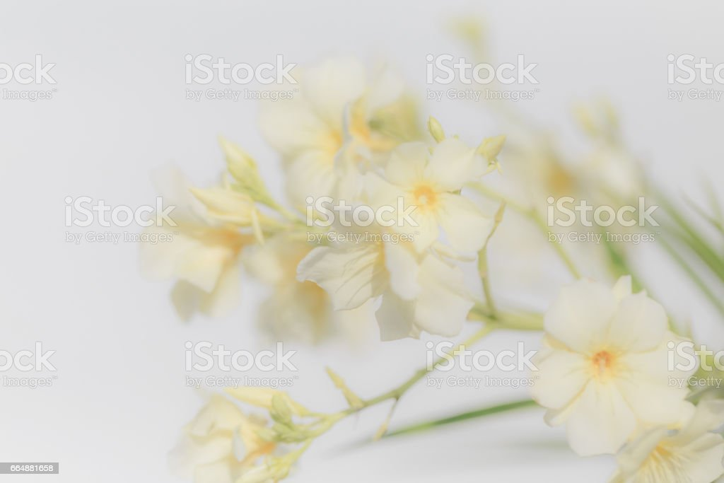 Close Up White Oleander Flower Soft Focus For Background Texture