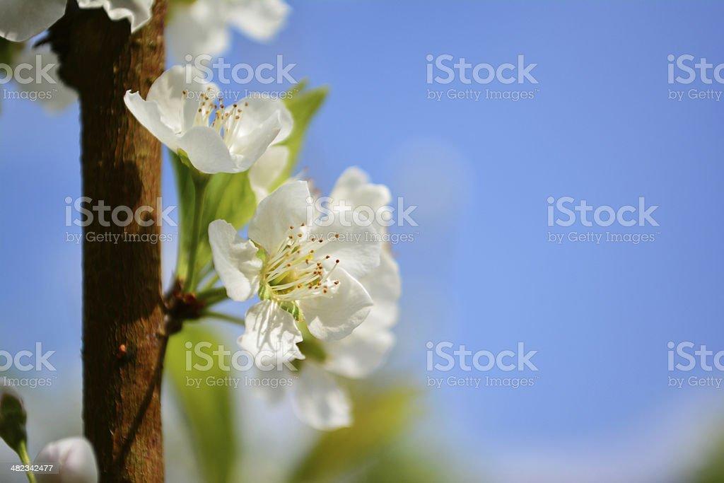 Close up white plum flower blooming stock photo more pictures of close up white plum flower blooming royalty free stock photo mightylinksfo