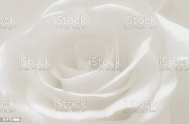 Close up white rose petals macro abstract soft white background picture id916704588?b=1&k=6&m=916704588&s=612x612&h=ylzyyfmlt5scqrndkdjzxaoxliupwp893em3qvlpdbe=