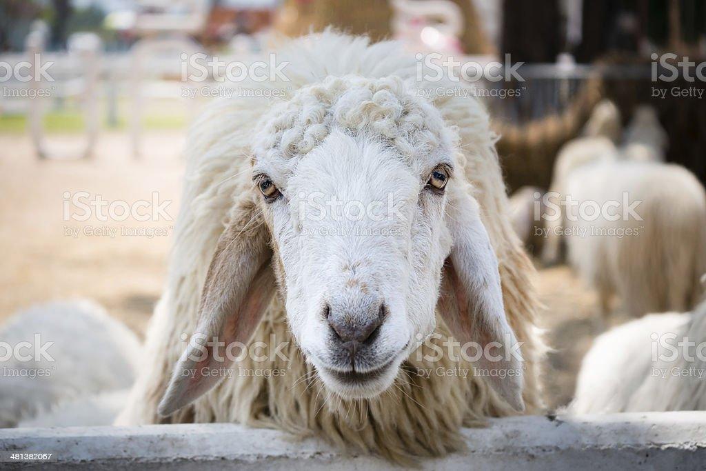 Close up white sheep stock photo