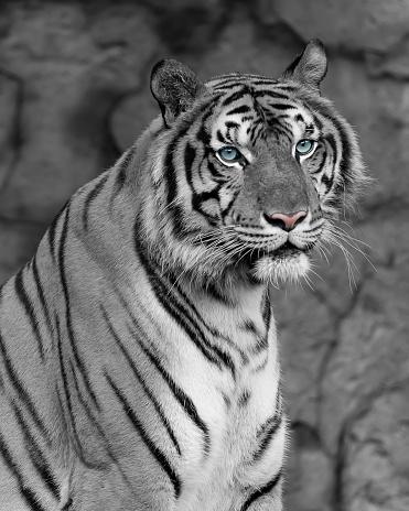 909806032 istock photo Close up white tiger. 981368772