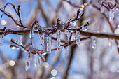 Close up macro image of tiny tree branches covered with water ice and icicles hanging down from them. It is a sunny day with light reflecting and refracting from ice. A scenic winter concept