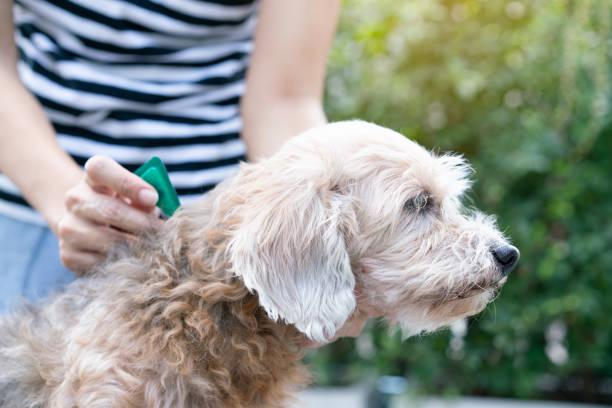 Close up woman applying tick and flea prevention treatment to her dog picture id1134898448?b=1&k=6&m=1134898448&s=612x612&w=0&h=sgosphobotjijjnbff21mfh 6apwfril jcegsuzdt4=
