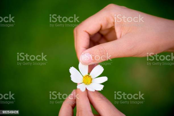 Close up woman hand tears off petals of daisy flower picture id932549428?b=1&k=6&m=932549428&s=612x612&h=zkz1i54jgwhpu29od2za9sx9fitdl0zpgku1s6w6dg4=