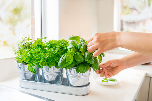 Close up woman's hand picking leaves of basil greenery. Home gardening on kitchen. Pots of herbs with basil, parsley and thyme. Home planting and food growing. Sustainable lifestyle, plant-based foods