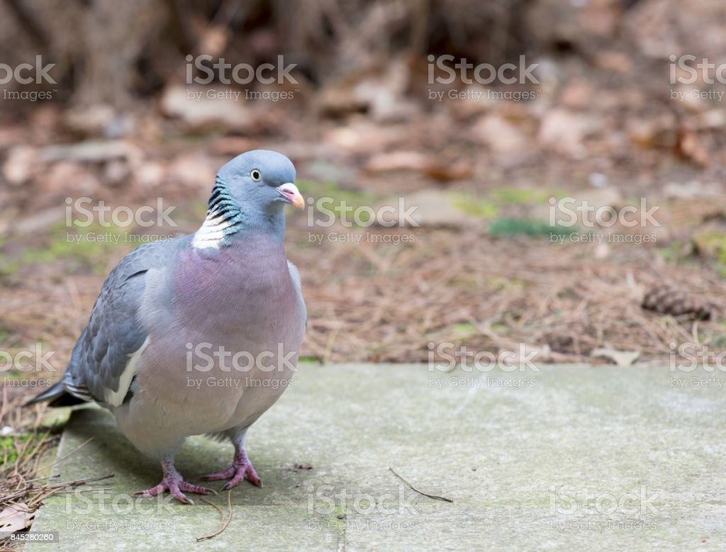 Close up wood pigeon stock photo