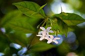 Close up Wrightia religiosa flower