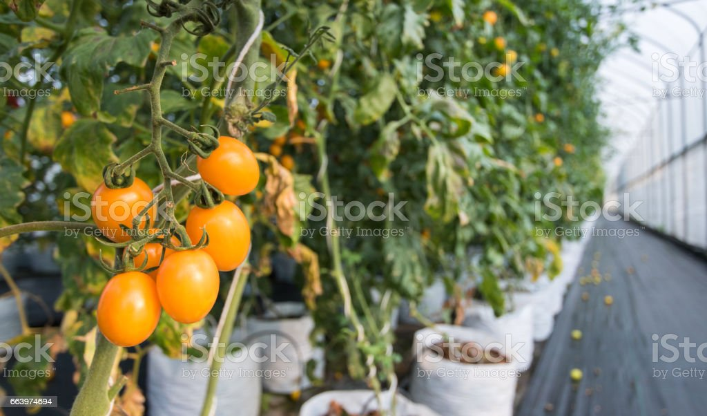 Close Up Yellow Cherry Tomato Growing In Greenhouse