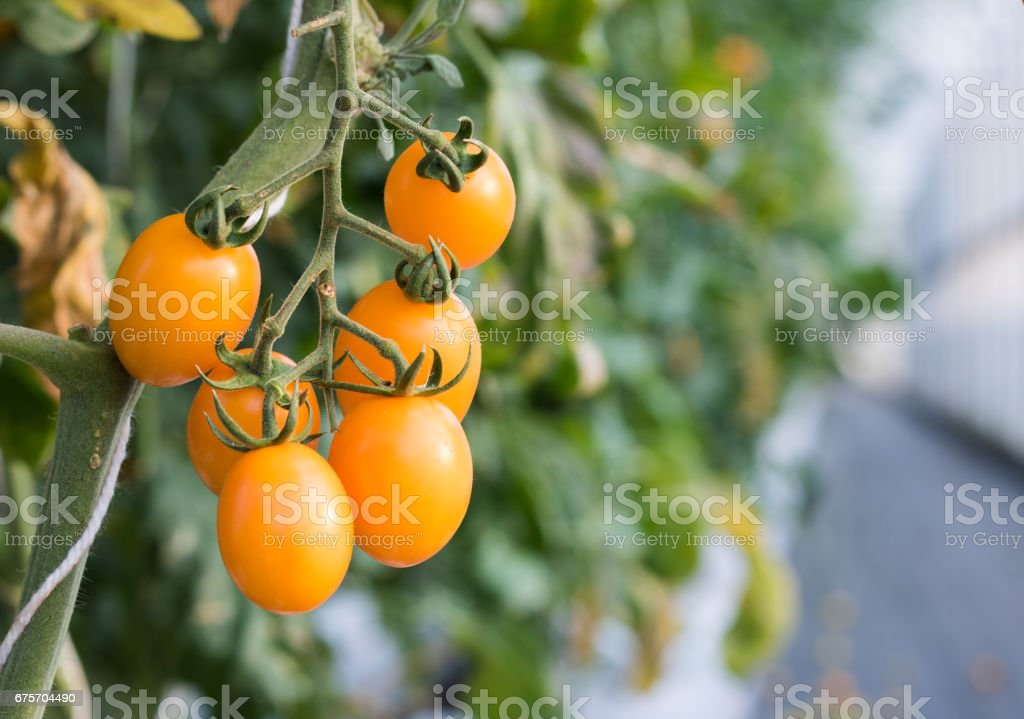 Close up yellow cherry tomato growing in greenhouse  agriculture farm. royalty-free stock photo
