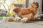istock Close up yellow chicks on the floor , Beautiful yellow little chickens, Group of yellow chicks 1147364962