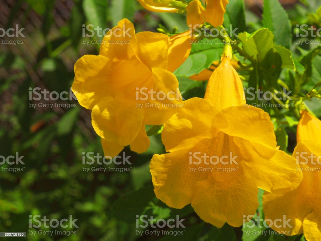 Close Up Yellow Elder Bells Flower Under Bright Sunlight Stock Photo