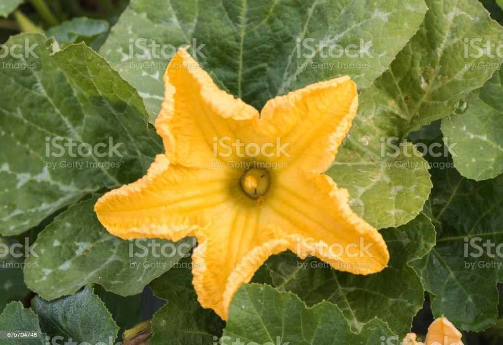 關閉了黃色花的南瓜種植場廠。 免版稅 stock photo