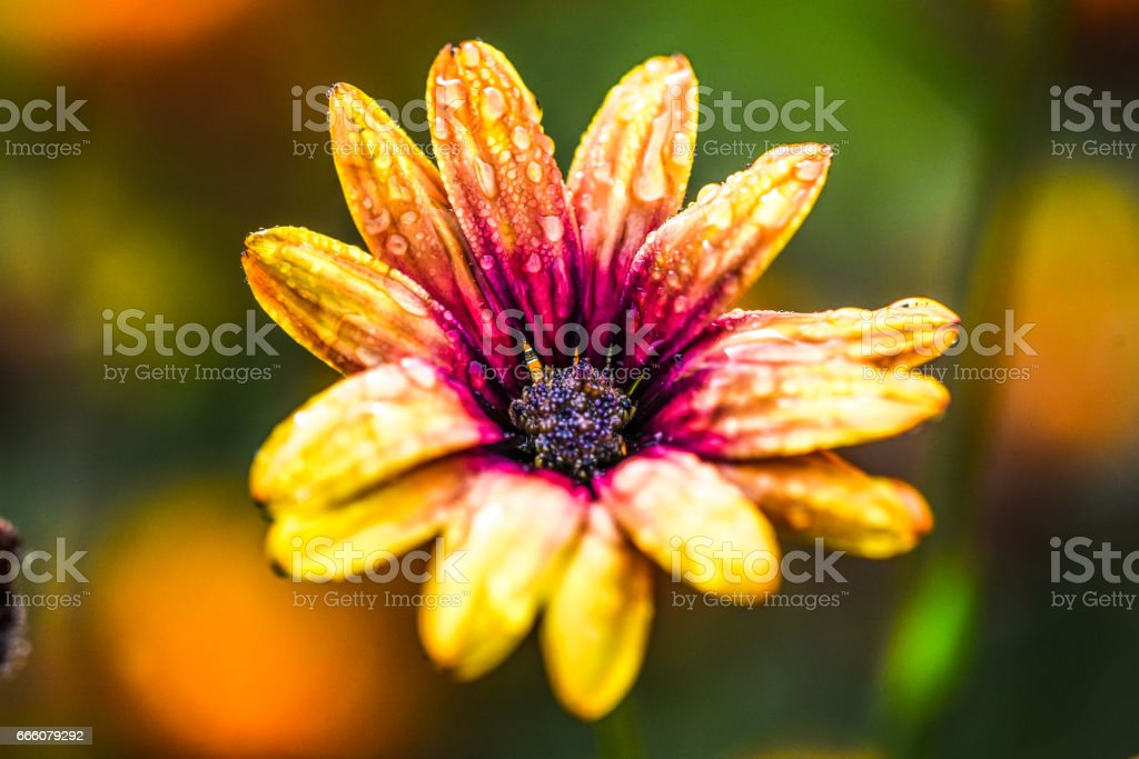 Close up yellow flower with raindrop on petals stock photo
