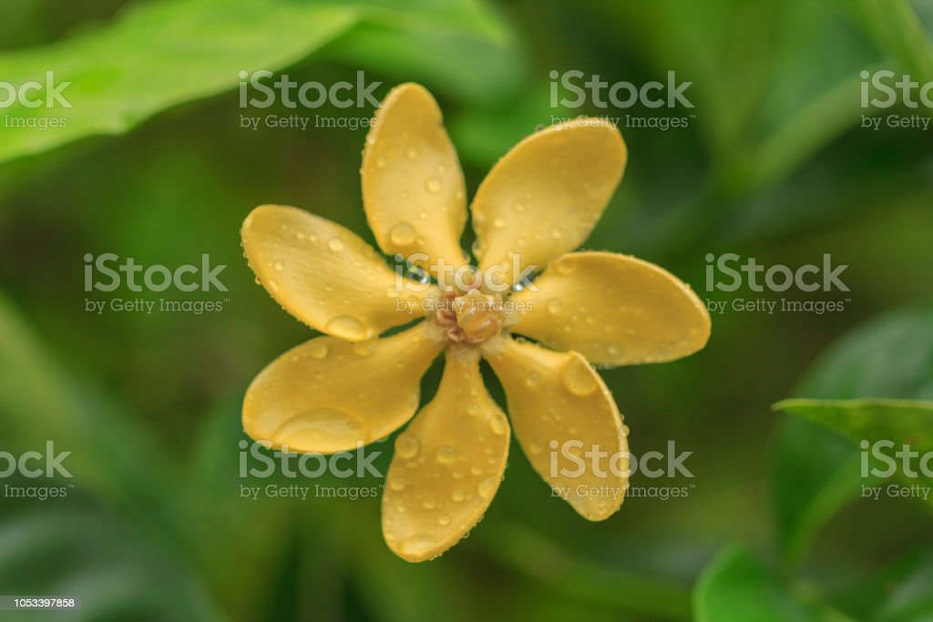 Close up yellow Golden Gardenia or Gardenia carinata Wallich flower...