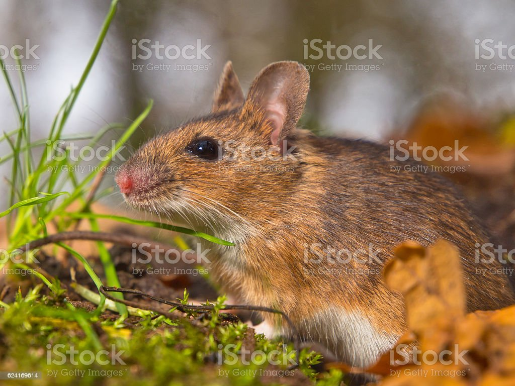 close up yellow necked mouse stock photo