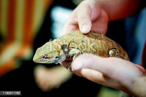 Close up yellow sleeping lizard on human hands