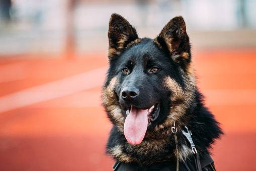 Close Up Young Alsatian Wolf Dog German Shepherd Dog.