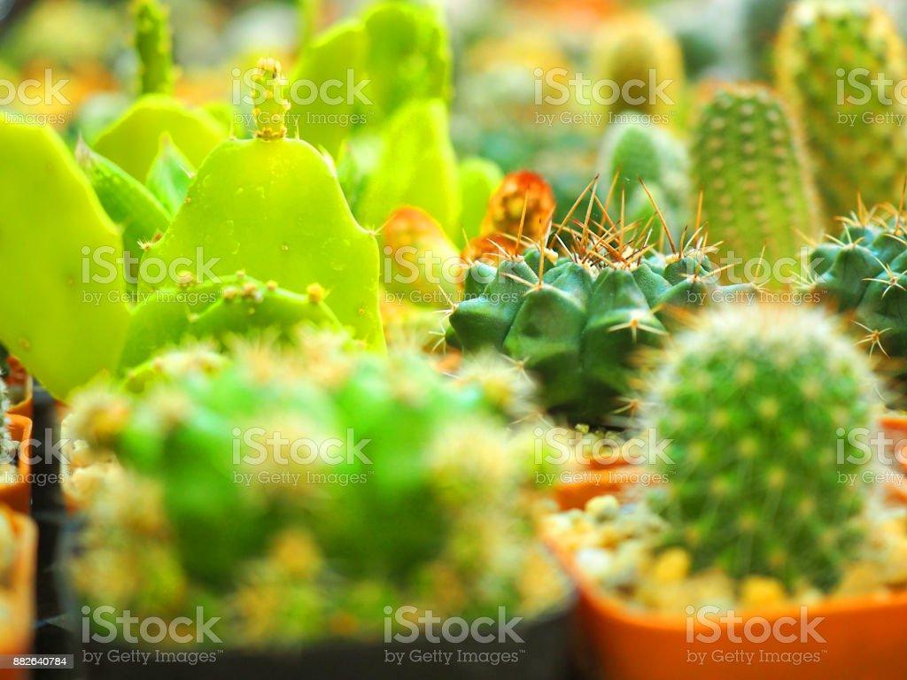 Close up young green barrel spike shape Echinocactus, Ferocactus,...
