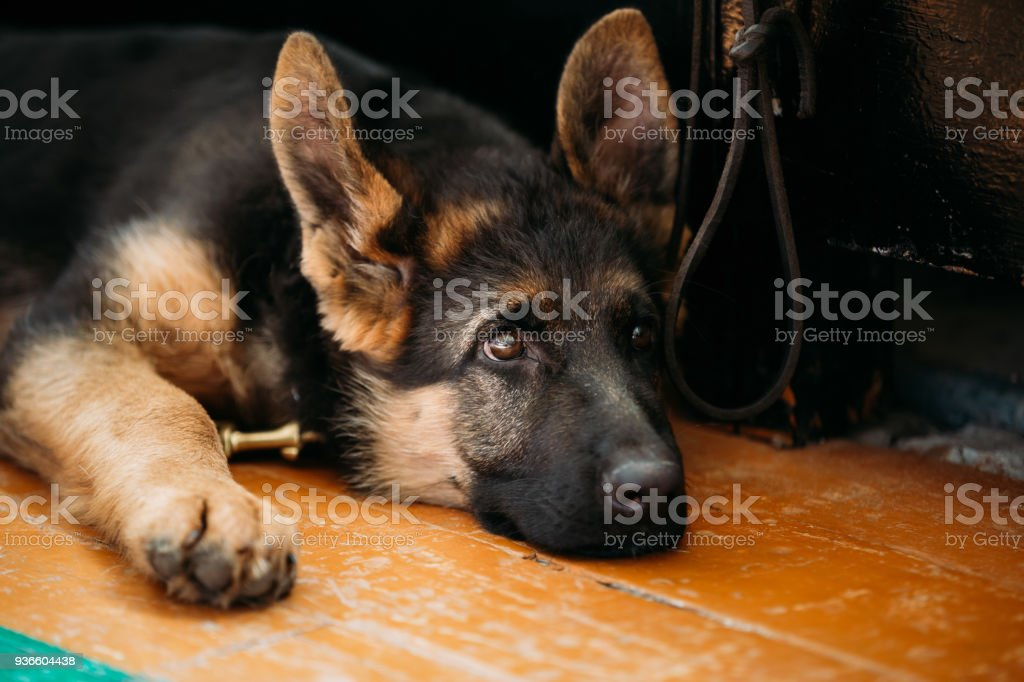 Close Up Head Young German shepherd Puppy Dog Sitting On Wooden Floor