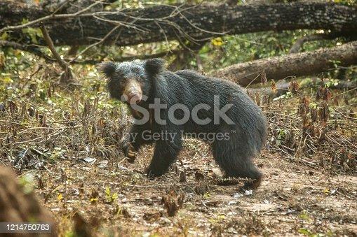 Close up,wild sloth bear, Melursus ursinus, bear in tropical forest, Wilpattu national park, Sri Lanka, wildlife photo trip in Asia, exotic adventure, endangered species, safari