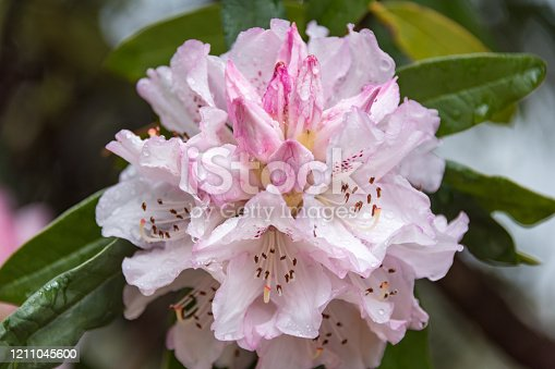 fesitval of royal azalea blossom in hwang-mae mountain.