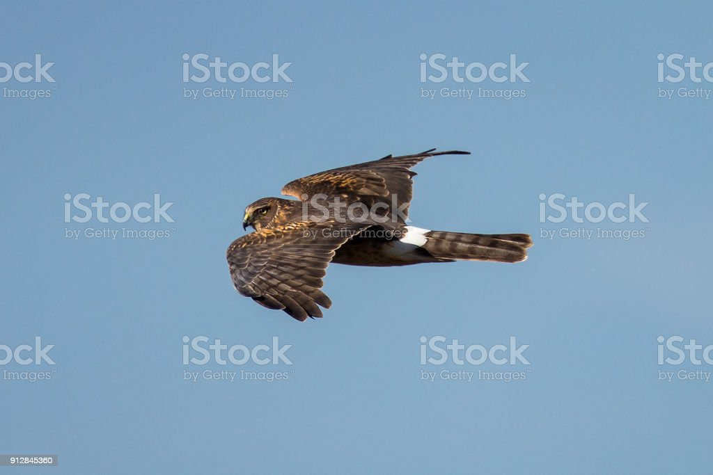 Close view of a hen harrier, seen in the wild near the San Francisco Bay stock photo