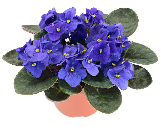 Close view of a potted African Violet stock photo