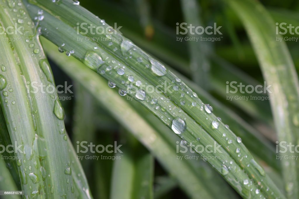 Close view of day lily blades with water droplets stock photo