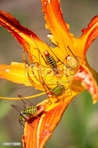 Close-up of five Poecilimon thoracicus, Phaneropteridae bush-crickets on a damaged Orange day lily or Hemerocallis fulva, natural blurred background, selective focus in the Bulgarian town of Dimitrovgrad