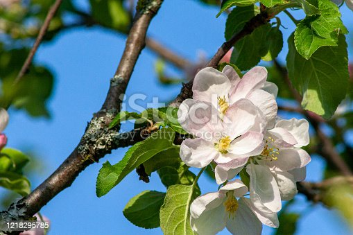 Close view of pink and white flowers on a branch of a blossoming apple tree. Blue sky in background.