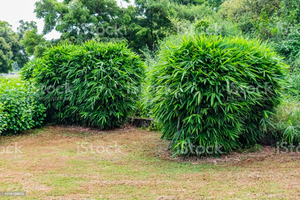 Close View Of Small Bamboo Tree Leafs Shrubs Hibiscus Tree Shrubs