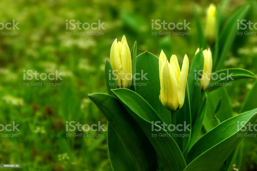 Close view yellow tulips with green background royalty-free stock photo