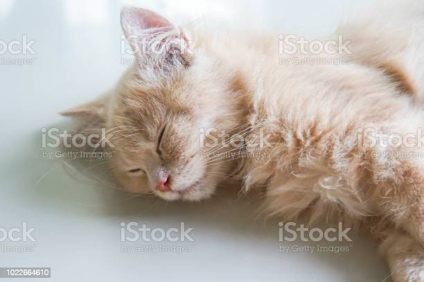 Close young persian kitten sleeping face on the tile floor at home picture id1022664610?b=1&k=6&m=1022664610&s=612x612&h=2gdvob fkfvw0r nomckz6 gtzhjakrpjmk1pt6q2 u=