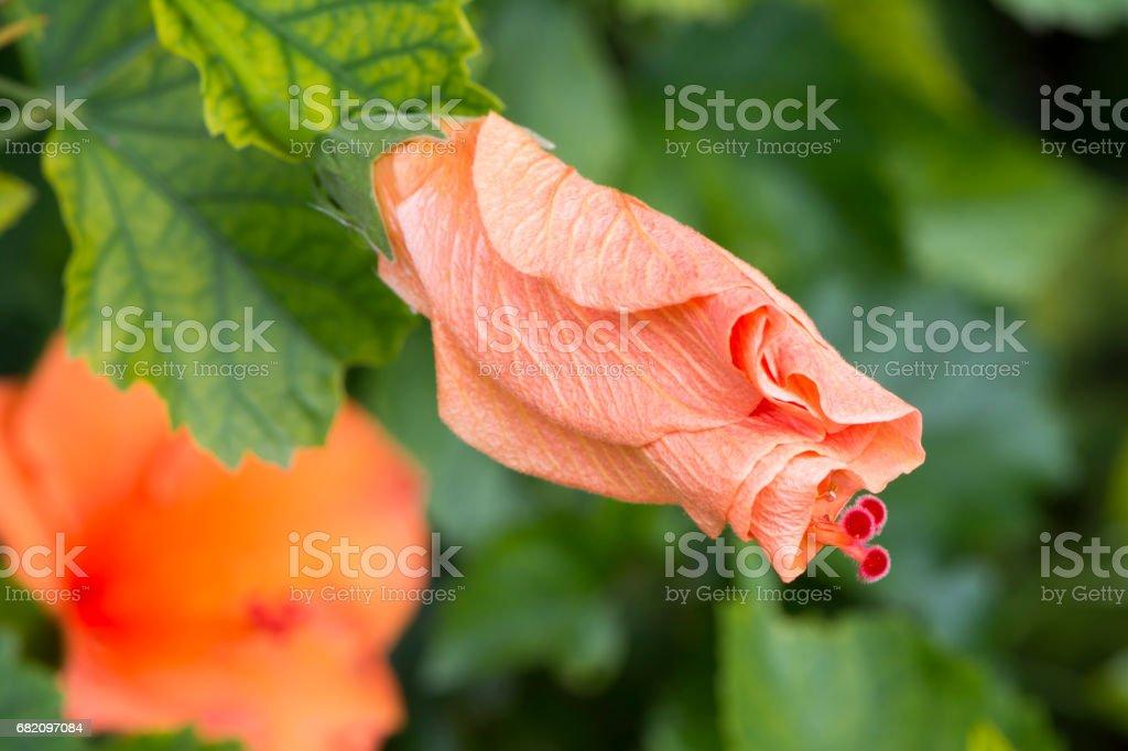 Closed Hibiscus Rosa-Sinensis 'Ritzy' stock photo