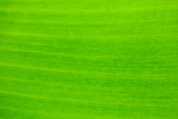 Closed up banana leaf texture abstract background stock photo
