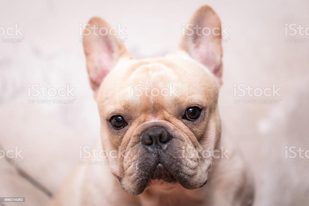 Closed up french bulldog animal in high key tone stock photo
