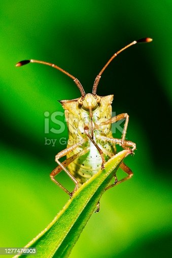 Closed up insect climbing tip of green leaf - animal behavior.