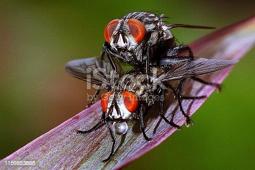 Closed up mating flies.