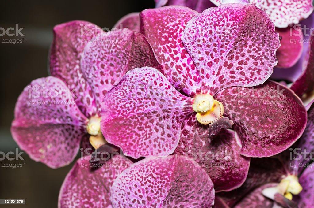 closed up of big vanda orchid flower foto stock royalty-free
