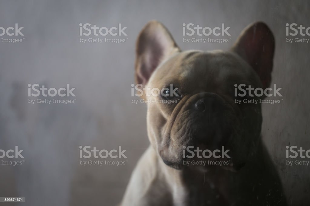 Closed up of sad french bulldog in low key tone waiting for something stock photo