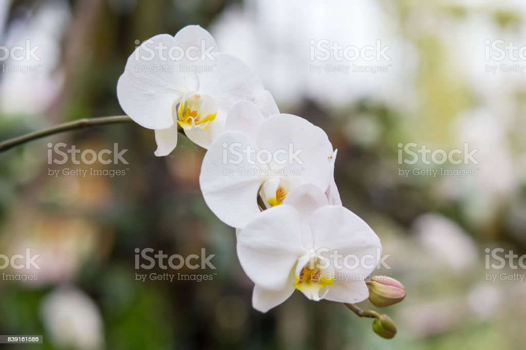 Closed up of Thai white vanda orchid in the garden stock photo
